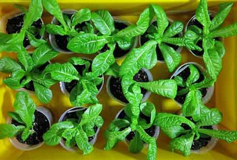 '新유전자 가위'로 고친 식물, GMO 논란 無