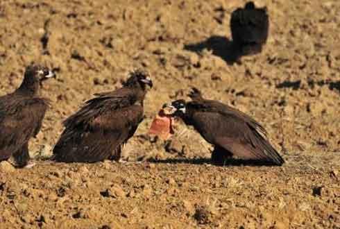 한국 독수리는 왜 썩은 고기를 먹나