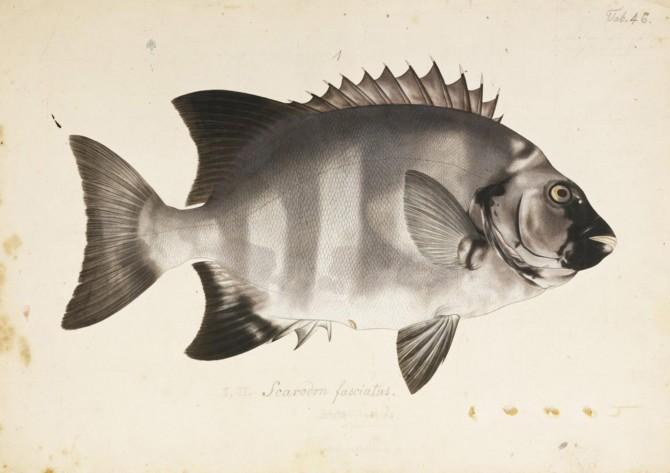 우리나라와 일본에서는 고급 횟감이지만 유럽에서는 귀찮은 생선으로 취급한다. 전복이나 굴 같은 비싼 해산물을 잡아먹는 식성 때문이다. - Kawahara Keiga(W) 제공
