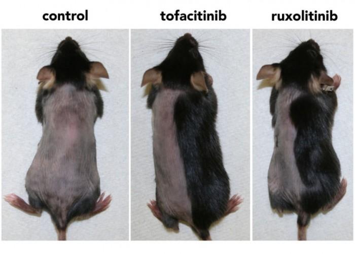 연구팀은 쥐의 피부에 관절염치료제의 주성분인