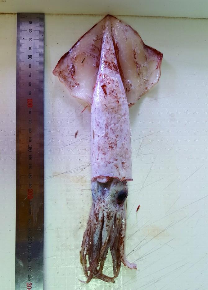 갈고리흰오징어 - 국립수산과학원 독도수산연구센터 제공