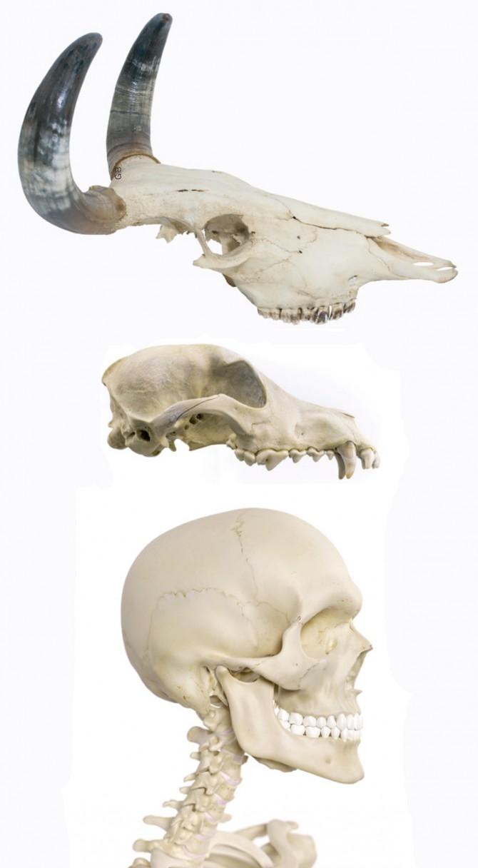 초식동물(맨 위)은 어금니와 앞어금니가 발달했고, 육식동물(가운데)은 앞니와 송곳니가 발달했다. 반면 인간의 치아는 모든 이가 골고루 발달했다. 잡식동물이라는 증거다. 그 덕분에 지금처럼 매우 다양한 종류의 동식물을 먹어 치우게 됐다. - GIB 제공