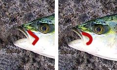 방어와 부시리를 구분하는 방법, 방어는 턱관절 끝이 각이 져있지만 부시리는 약간 둥글다.  - (주)동아사이언스 제공