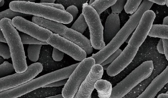 잡식동물인 인간은 다양한 음식을 자주 즐기지만, 메가이터가 될 몸을 타고나지는 않았다. 예컨대, 섬유소를 너무 많이 먹으면 장내 미생물이 과도하게 발효를 일으켜 장 안에 메탄 가스가 급격히 차 메스꺼움을 느낀다. - Rocky Mountain Laboratories, NIAID, NIH(W) 제공