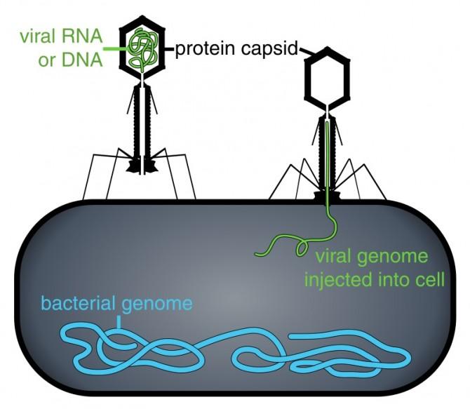 4_1952년 허시와 체이스는 방사성동위원소표지법을 써서 유전물질이 핵산임을 입증했다. 즉 박테리아 세포 표면에 달라붙은 파지는 박테리아의 세포막을 뚫어 내부의 핵산을 보내 증식한다. - 위키피디아 제공