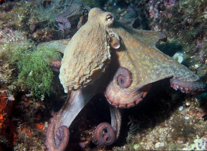 우리나라 전지역 바다에서 사는 참문어. 대문어에 비해 비교적 크기가 작다.  - Albert Kok(W) 제공