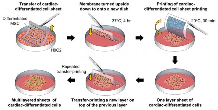 연구진이 개발한 분리막을 이용해 줄기세포를 세포와 함께 배양하면 기존보다 최대 8배 높은 배양 효율을 얻을 수 있다. 사용된 분리막은 20도의 저온에서 손상없이 시트형태로 떨어진다. - 서울대 제공
