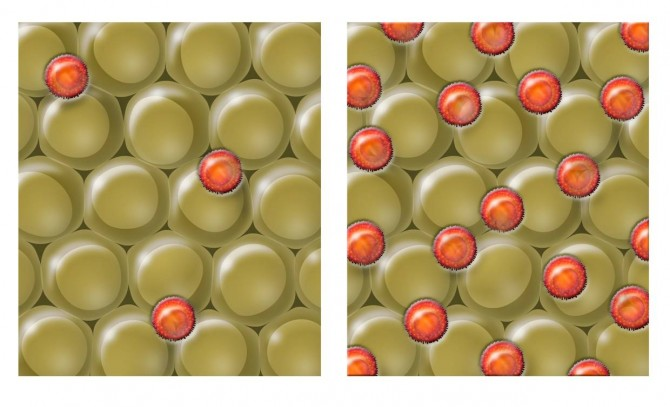 지방 조직(노란색)에서 염증을 누르는 역할을 하는 T조절세포(오렌지색)는 나이가 들며 점차 축적된다. 왼쪽은 정상인 상태를 나타내고 오른쪽은 나이가 들어 T조절세포가 증가한 상태다.  - 솔크연구소 제공