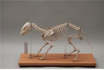 한국너구리의 골격표본 사진. 연구팀은 전국각지의 야생동물구조센터에서 기증된 너구리 사체들을 모아 한국 너구리의 골격 표본을 제작했다. - 서울대 제공