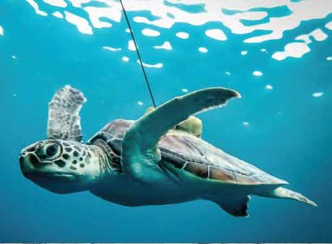 인공위성으로 실시간 위치 정보를 보내는 송신장치를 부착한 바다거북. - MARINESAVERS.COM 제공