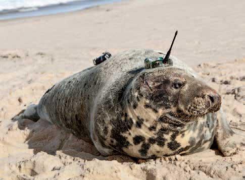 회색바다표범이 달고 있는 장치는 동물 간 상호작용과 해양 환경 정보를 음향과 위성 신호로 송수신 할 수 있다. - D.LIDGARD 제공