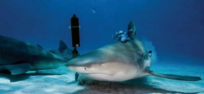 등에 음향신호 송신기를 부착한 레몬상어와 해저에 고정된 신호 수신장치. - M.POTENSKI 제공