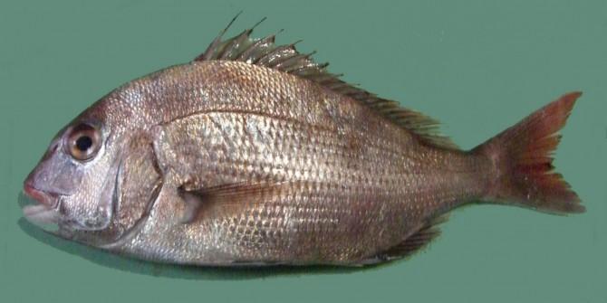 붉은빛을 띄는 물고기인 참돔. - Miya(W) 제공
