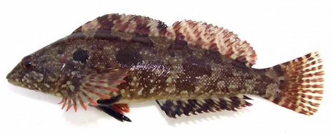 누구나 알지만 쉽게 살 수는 없는 생선, 노래미. 살아온 환경에 따라 몸색이 다르기 때문에 색만으로 구분하기는 어렵다.  - zukan.com 제공