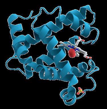 향유고래의 미오글로빈 구조. 1958년 단백질로는 최초로 구조가 밝혀졌다. - 위키피디아 제공