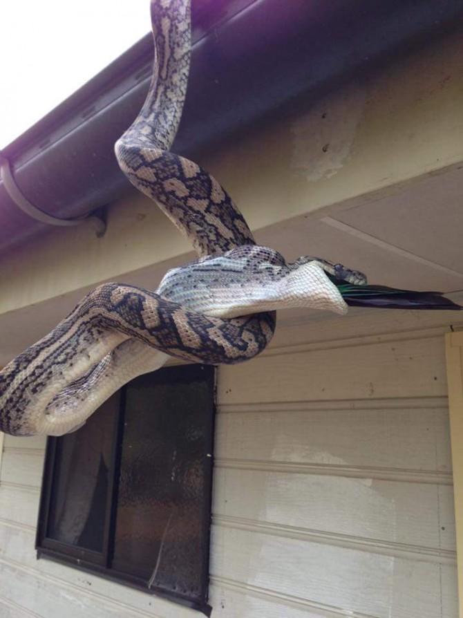 호주에서 포착, 비단뱀이 앵무새 '꿀꺽'  - ReptileCatcher 페이스북 제공