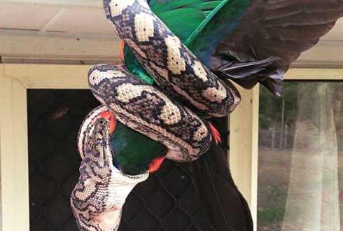 호주에서 포착, 비단뱀이 앵무새 '꿀꺽'