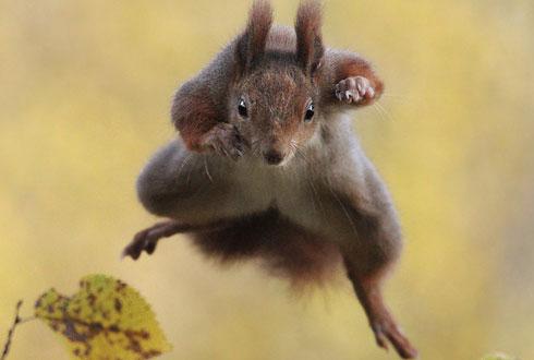 청설모가 나무 사이로 점프하는 순간