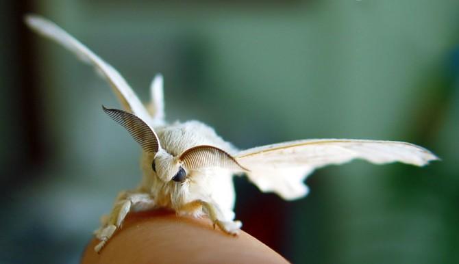 날개를 펼치면 뭘 하나…. 못 날아, 못 난다고! (*주의* 누에나방이 앉아있는 곳은 손가락입니다.) - Fernando Cuenca(F) 제공