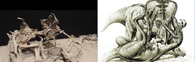 카일란-자우오로우스카 이끄는 탐사대가 1971년 몽골에서 발굴한 벨로키랍토르와 프로토케라톱스가 싸우고 있는 화석(왼쪽). 이 장면을 오른쪽 그림으로 보면 상황을 좀 더 확실히 알 수 있다. - 유야 타마이 & 라울 마틴 제공