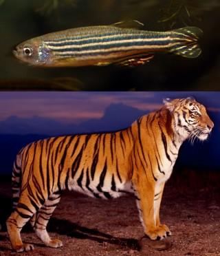 몸과 수평한 방향의 줄무늬가 가진 제브라피시(위)와 몸에 수직한 방향의 줄무늬를 가진 호랑이(아래). - flickr 제공