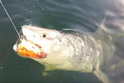 낚시꾼의 물고기 훔치는 상어 '포착'