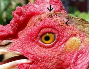 닭의 볏 주변에 기생하는 '도깨비바늘 벼룩' (검은색 화살표 부분) - 에이미 무리요 연구원 제공