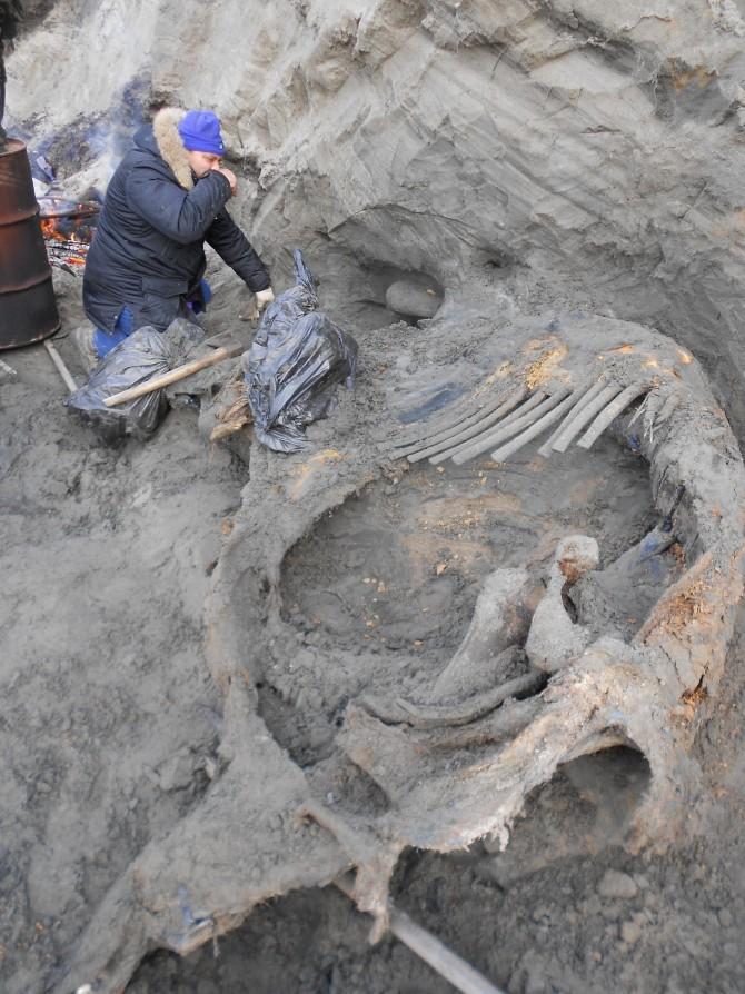 러시아과학아카데미 연구팀이 2012년 러시아 만에서 발견한 매머드 사체의 모습. 이 매머드는 약 4만 5000년 전에 살았던 것으로 나타났다.  - 사이언스 제공