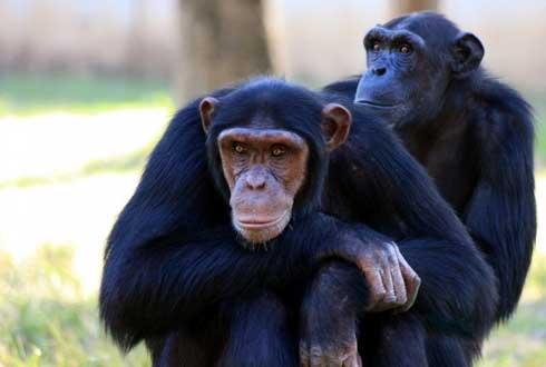 '우리 친구 아이가~' 침팬지 세계에도 '친구' 존재