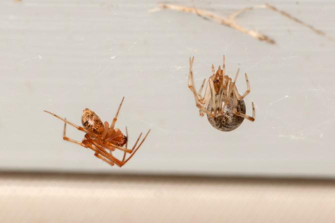 연구팀이 발견한 꼬마거미과에 속하는 거미의 모습. 왼쪽이 수컷, 오른쪽은 암컷이다. - 매트 버튼 제공