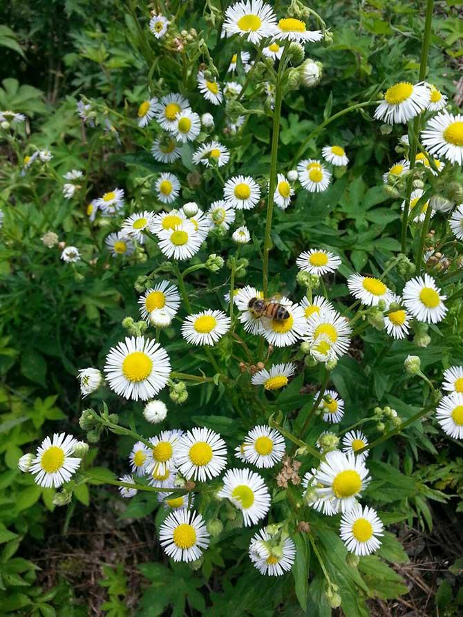 귀화식물인 개망초와 꿀벌 - 무지개빛 식물사랑 제공