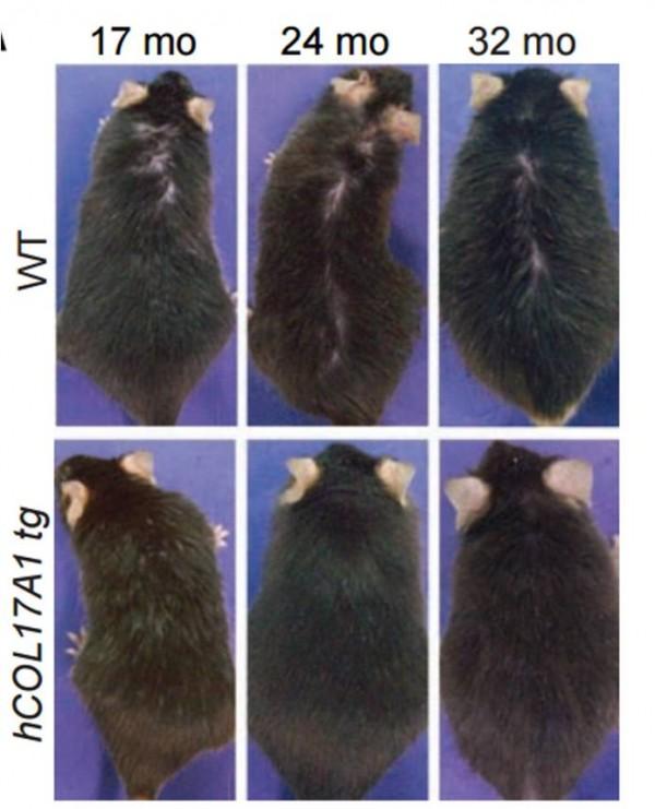 노화가 진행 중인 17개월, 24개월, 52개월 된 쥐의 등에는 털이 듬성듬성 빠져 있다(윗줄 왼쪽부터). 하지만 모낭줄기세포의 수가 유지되도록 유전자를 조작한 돌연변이 쥐에서는 나이가 들어도 탈모가 나타나지 않았다(아랫줄). - 사이언스 제공