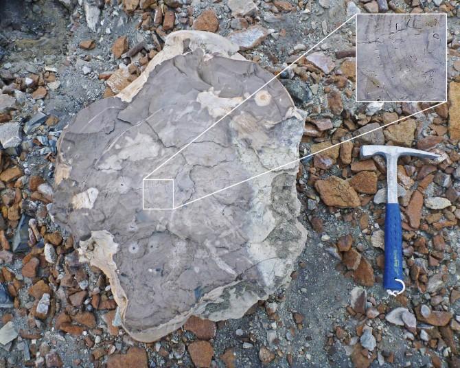 극지연구소가 지난달 남극 화석 탐사에서 발굴한 고생대 후기 나무 화석(왼쪽). 나이테가 선명하게 보인다.  - 극지연구소 제공
