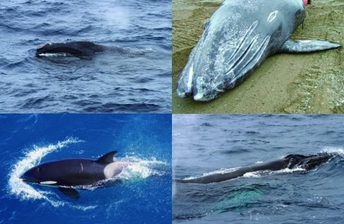 한반도의 고래들. 북방긴수염고래(왼쪽위), 귀신고래(오른쪽위), 범고래(왼쪽아래), 혹등고래(오른쪽 아래). - 과학동아 제공