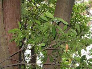 대표적인 활엽수인 붉가시나무는 국내 주요 수종 중 1㎥ 당 탄소 저장량이 가장 높다. - 위키미디어 제공