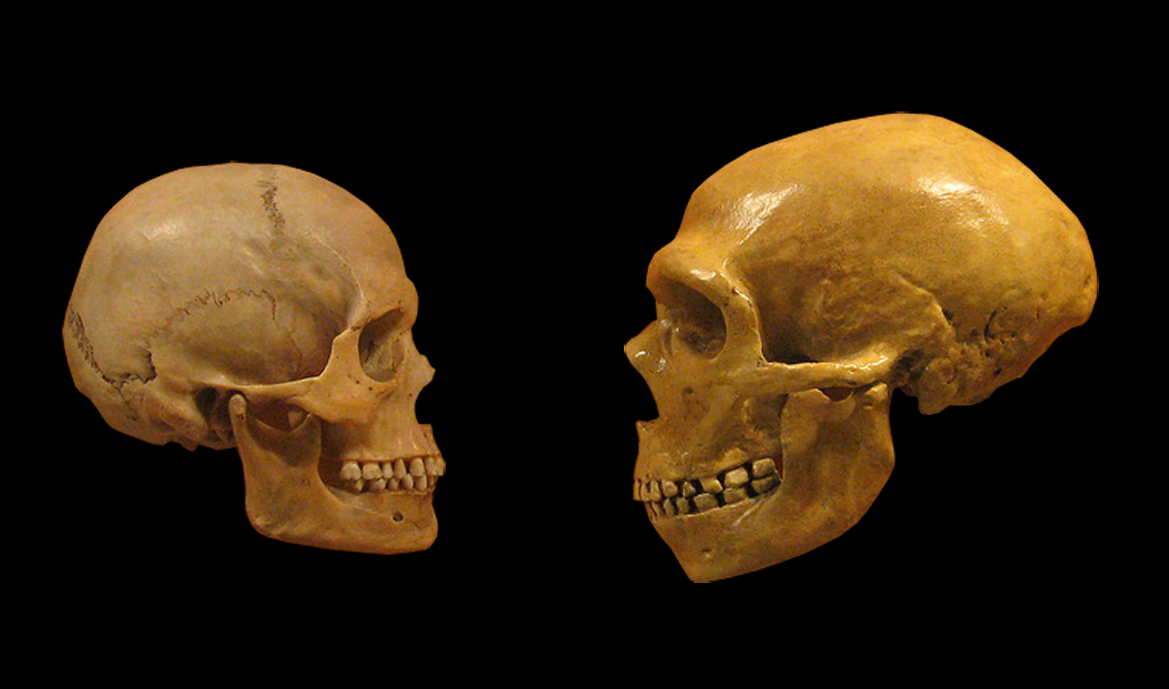 현생 인류인 호모 사피엔스의 두개골(왼쪽)과 네안데르탈인의 두개골(오른쪽). 네안데르탈인은 현생 인류에게 면역 등 유전적으로 중요한 영향을 미친 것으로 알려져 왔다.