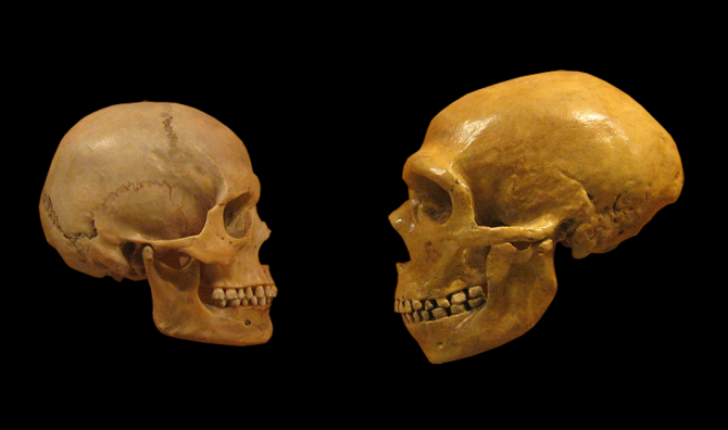 현생 인류인 호모 사피엔스의 두개골(왼쪽)과 네안데르탈인의 두개골(오른쪽). 네안데르탈인은 현생 인류에게 면역 등 유전적으로 중요한 영향을 미친 것으로 알려져 왔다. - 위키미디어 제공