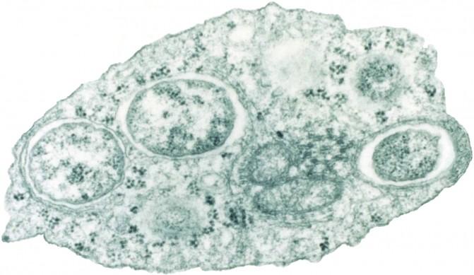 '월바키아(Wolbachia)' 박테리아 - 스콧 오닐 호주 모나쉬대 교수 제공