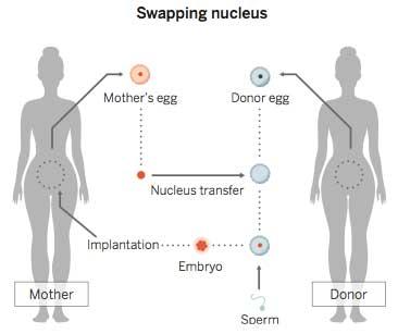 미토콘드리아치환요법의 개념도. 미토콘드리아 게놈에 문제가 있는 여성(왼쪽)이 이런 문제가 없는 아이를 낳기 위해 미토콘드리아 게놈에 문제가 없는 여성(오른쪽)의 탈핵한 난자에 자신의 핵을 넣은 뒤 수정을 시켜 자궁에 착상시키는 방법이다. 지난해 영국에서 세계 최초로 임상적용이 합법화돼 곧 적용될 예정이다. - 사이언스 제공