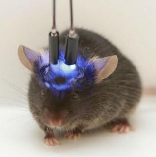청색광에 광활성을 갖는 분자를 눈 먼 쥐에게 주입한 후 빛을 쪼이고 있다. - Olena Bukalo 제공