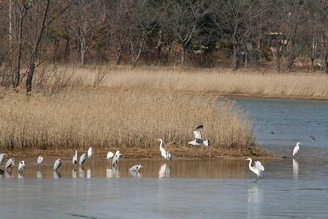 영랑호의 겨울, 휴식을 취하고 있는 철새들 - 고종환 제공