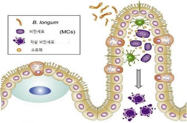 연구진은 신생아의 비피더스균이 비만세포의 선택적 자살을 유도해 알레르기 저감 효과가 있다는 사실을 알아냈다. - 기초과학연구원(IBS) 제공