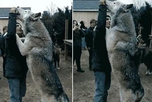 초대형 늑대, 늑대가 이렇게 크다니