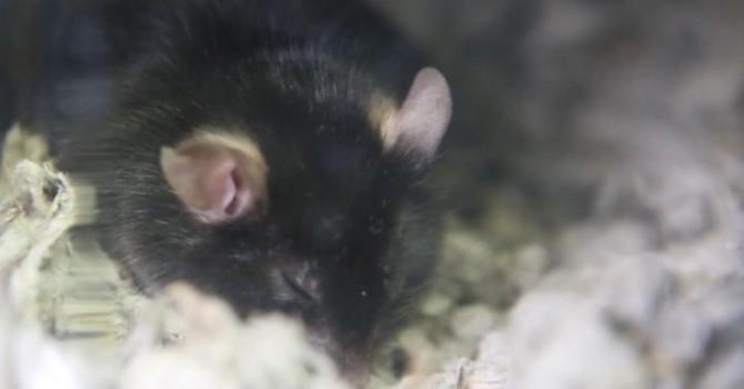 수면 중인 쥐의 모습. - 일본 이화학연구소(RIKEN) 제공