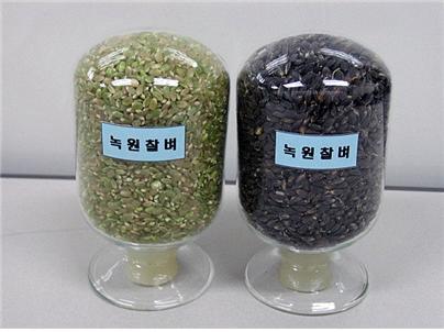 원자력연 연구진이 방사선 육종기술로 만든 녹원찰벼 품종의 모4습 - 한국원자력연구원 제공