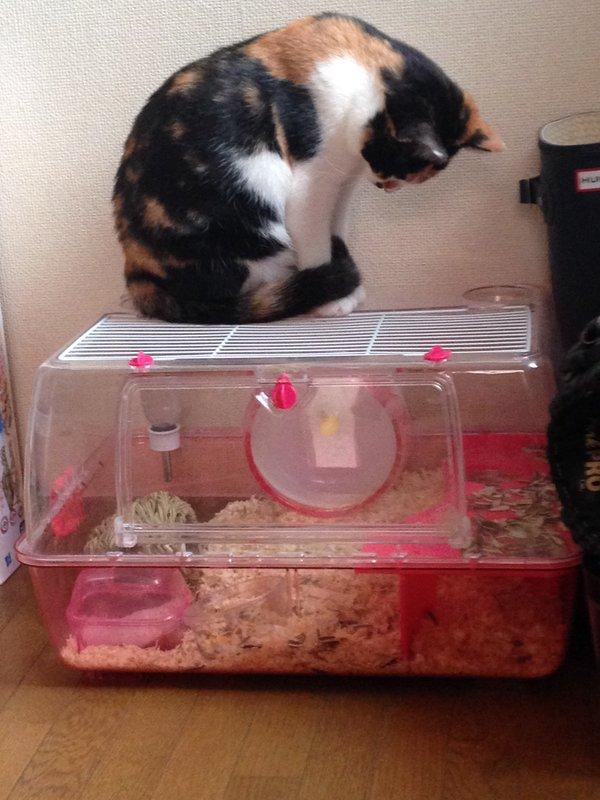 햄스터 케이지 위에 앉은 고양이 - 트위터 @pyonpyon_chang 제공