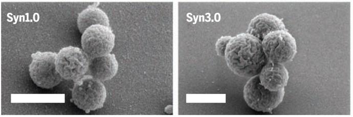 연구진이 2010년 합성하고 최초로 증식에 성공한 합성세포 JCVI-syn1.0(왼쪽)과 이번에 개발한 JCVI-syn3.0(오른쪽)의 모습. syn3.0의 개발을 통해 syn1.0의 절반가량의 유전자만으로도 생명유지가 가능함을 확인했다. - 사이언스 제공