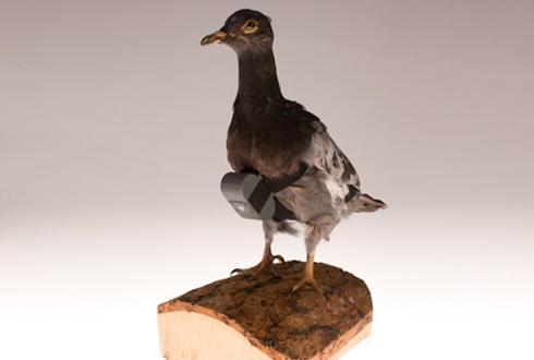 CIA가 공개한 공중 촬영 비둘기