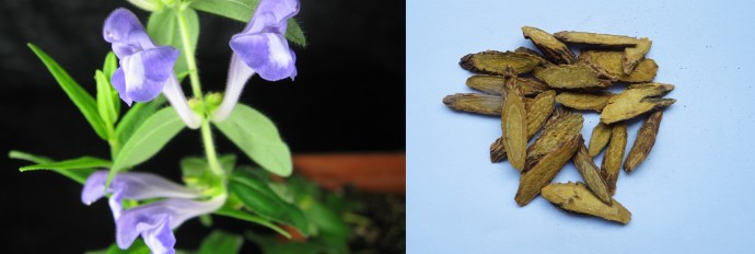 황금 꽃(왼쪽)과 약재로 쓰이는 말린 황금 뿌리(오른쪽)의 모습. - 존인너스 센터 제공