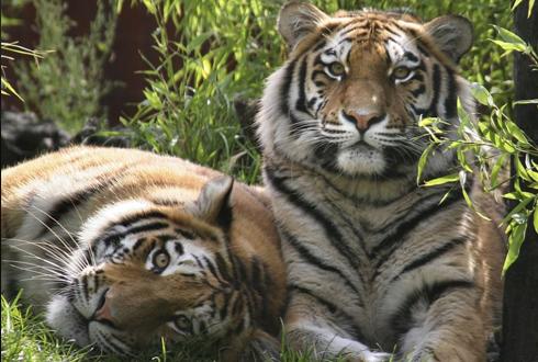 야생 호랑이 두 배로 증가 시킬 수 있는 방법은?